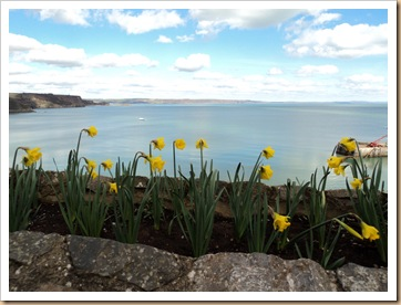 Tenby Harbour With national Flower. The Daffodil