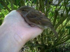 Sparrow healing