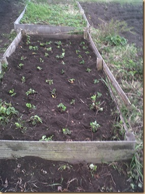 Strawberry Bed half weeded