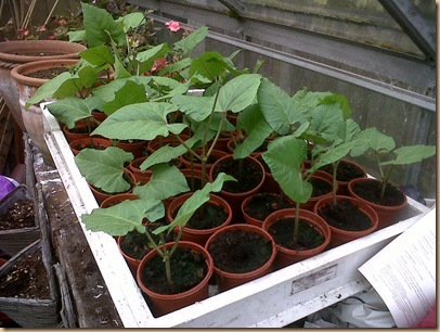 Runner Bean Plants