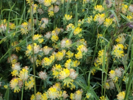 Yellow Clover Humming with bees I was in heaven when I saw this.