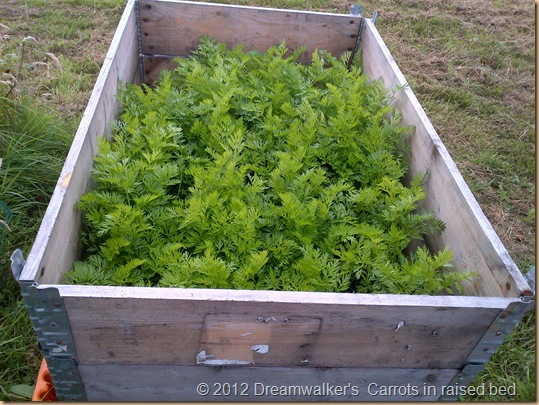 Carrots in Raised bed