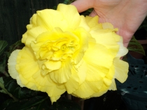 Double Begonias as big as my hand