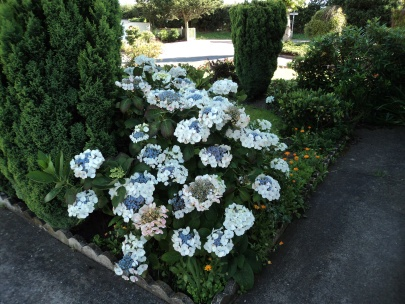 Hydrangea in the front garden