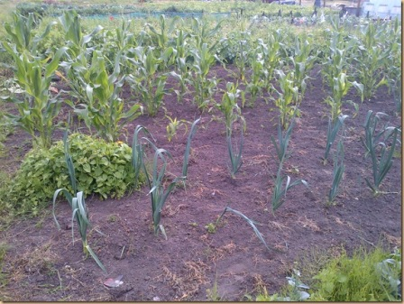 Leeks and Sweetcorn