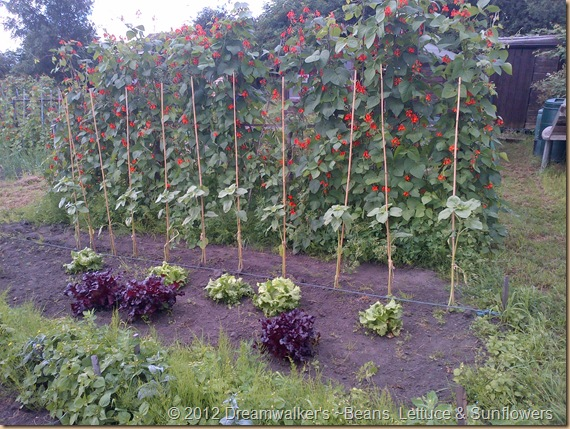 Lettuce, Sunflowers and Kidney Beans