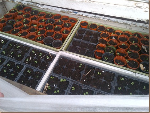 In the cold frame, Cabbages Various and Kale