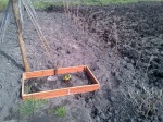 Rhubarb-coming-through-and-we-transplanted-the-Raspberry-canes.jpg