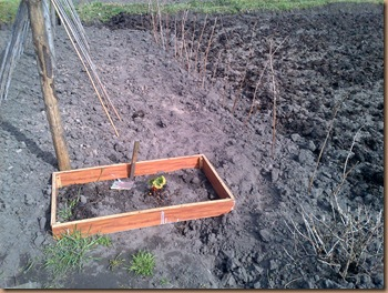 Rhubarb coming through and we transplanted the Raspberry canes