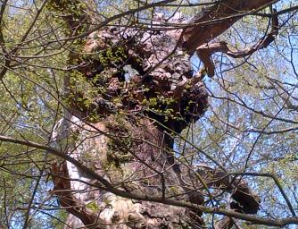 This Oak is gnarled and has a hole through its top trunk.