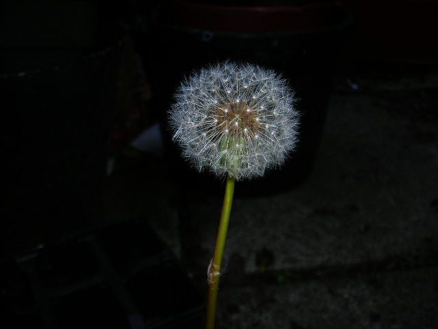 Dandelion Beauty.. Who says weeds are Ugly?