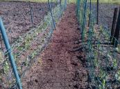 Rows of Peas each set has 3 rows and will eventually climb the wire netting. We have 3 such rows as these,