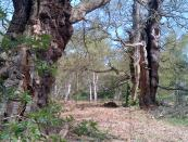More old Oaks in the wood