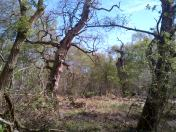 Old Oaks that have died.