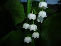 Perfection Lily of the Valley