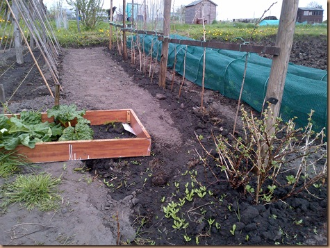 Raspberry Canes, Rhubarb, and Runner Beans Poles in