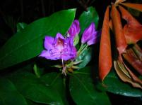 Rhododendron rich in colours
