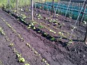 Bottom left are parsnips, Runner Beans climbing the poles with 2 rows of carrots between the bean poles.