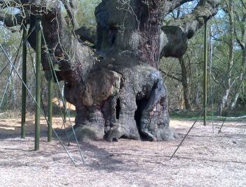 The Major Oak. Here you see it with the gap where Robin Hood was supposed to have hidden! ?