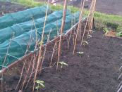 Sunflowers growing near the Raspberry Canes..