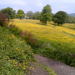 A carpet of Buttercups