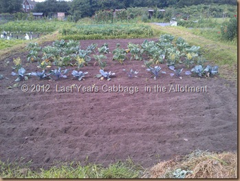 Cabbages and long view of Alloments