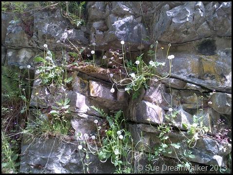 Dandelions growing in rock face