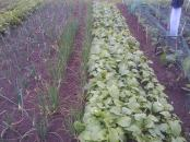 Onions, Shallots, and Swedes