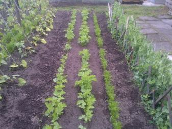 Beans, Parsnips, carrots, and Peas.