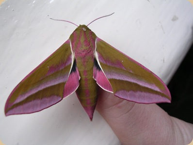 elephant_hawk_moth_large