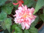 Begonia's Double Pink