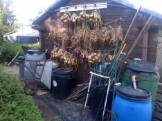 Onions and Shallots hanging to dry