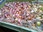 Shallots outer skins removed and drying