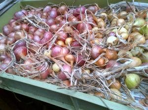 Shallots outer skins removed, polished and now drying