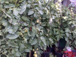 Green House Tomatoes, still waiting for them to ripen