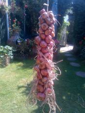 Shallots hung on string for storage