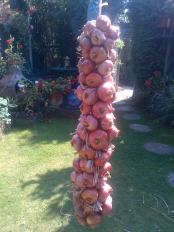 Shallots all finished hanging still drying out in the sun