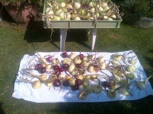 Onions that are cleaned off and drying before hanging for final storage