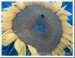 Sunflower-and-Bee_thumb.jpg
