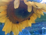 Sunflower-with-a-couple-of-Bees.jpg