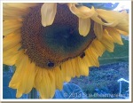 Sunflower-with-a-couple-of-Bees_thumb.jpg