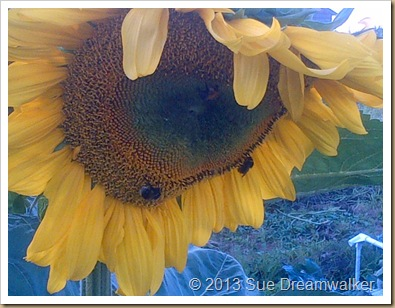 Sunflower with a couple of Bees