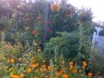 Sunflowers-and-Marigolds.jpg