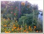 Sunflowers-and-Marigolds_thumb.jpg