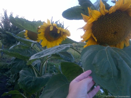 Huge Sunflowers we save the seeds