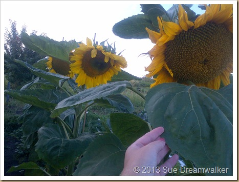 Sunflowers showing the size