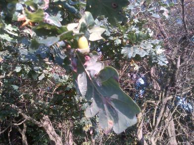 Nature Heals Acorns