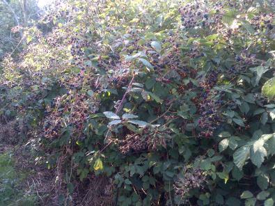 Nature Heals Blackberry-brambles