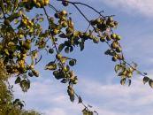 Nature Heals Cascade-of-crab-apples