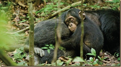 Friday Facts ~ What has happened to our Hearts? Chimpanzee